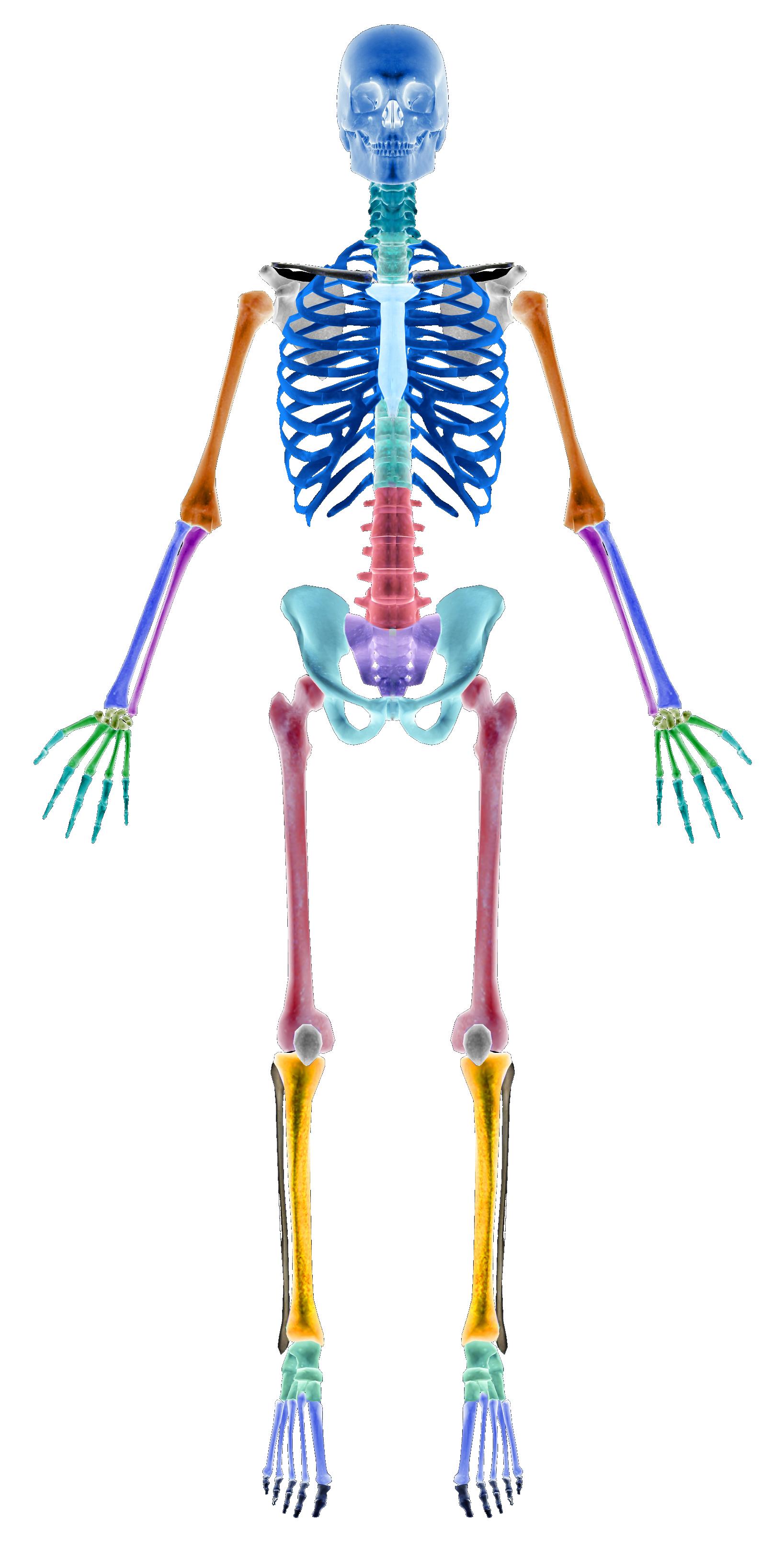 Das menschliche Skelett – INTERAKTIV LERNEN